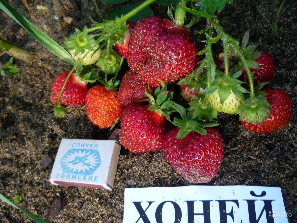 Особенности выращивания популярного промышленного сорта клубники хоней