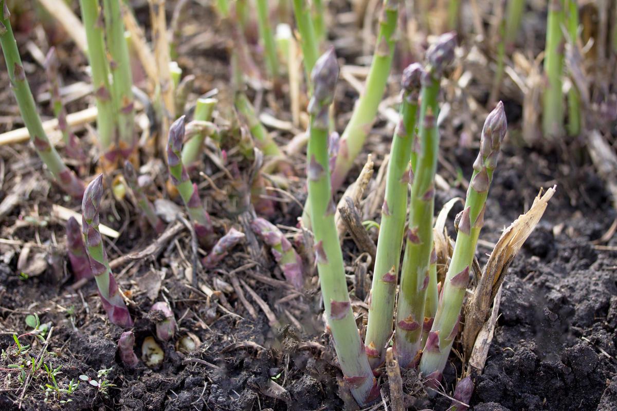 Спаржа: выращивание и уход в открытом грунте на огороде, посадка семенами и рассадой, где разместить на даче, как размножить и можно ли развести домашних условиях?