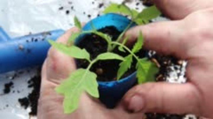 Когда и как пикировать рассаду помидоров