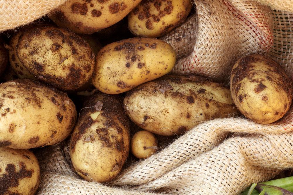 Почему картошка не цветет: причина и влияние на урожай