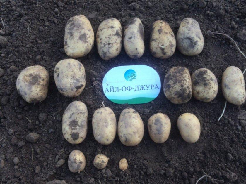 Особенности среднераннего картофеля манифест