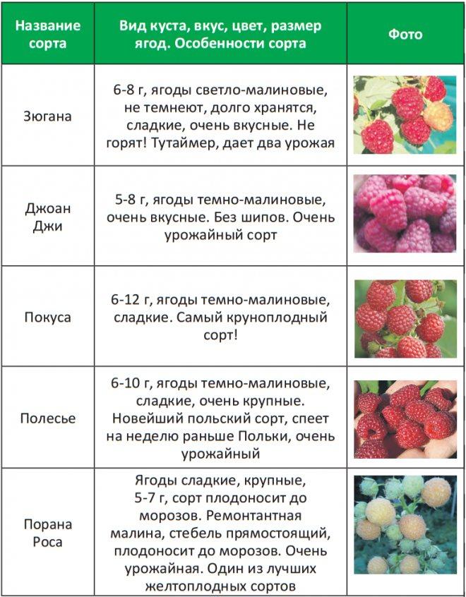 Желтая и красная малина: сорта и основные отличия   в чем разница