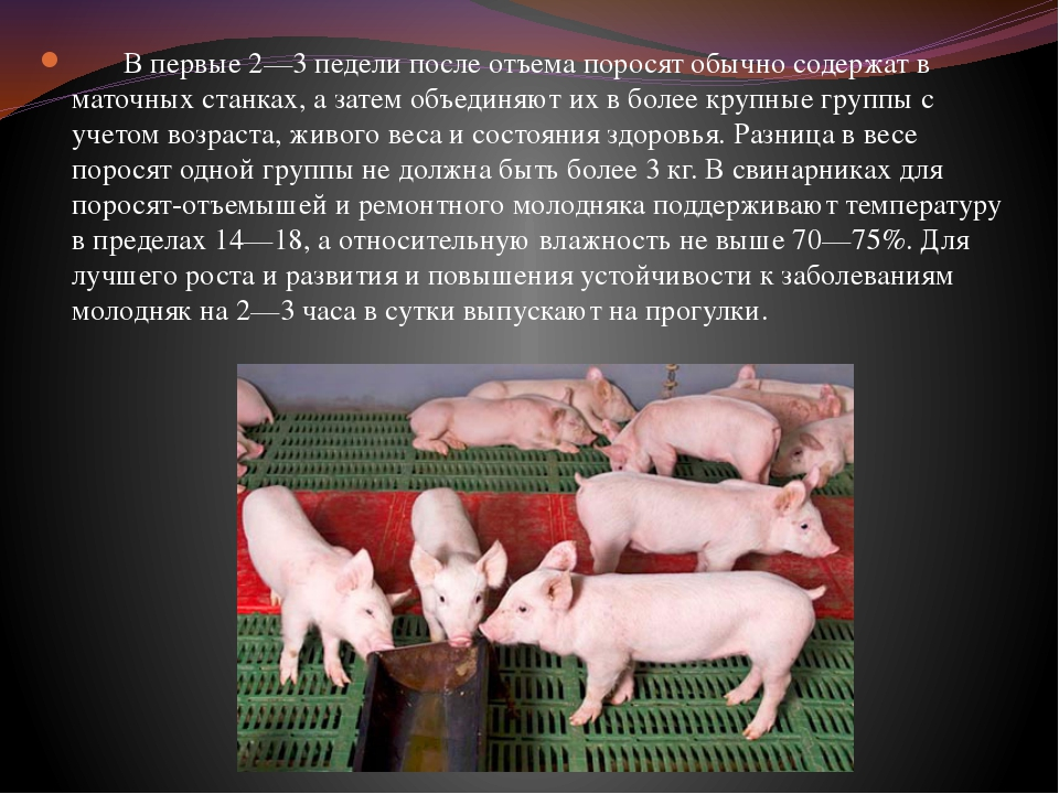 Свиноматка: 110 фото уход за поросятами и подкормка свиноматки перед родами