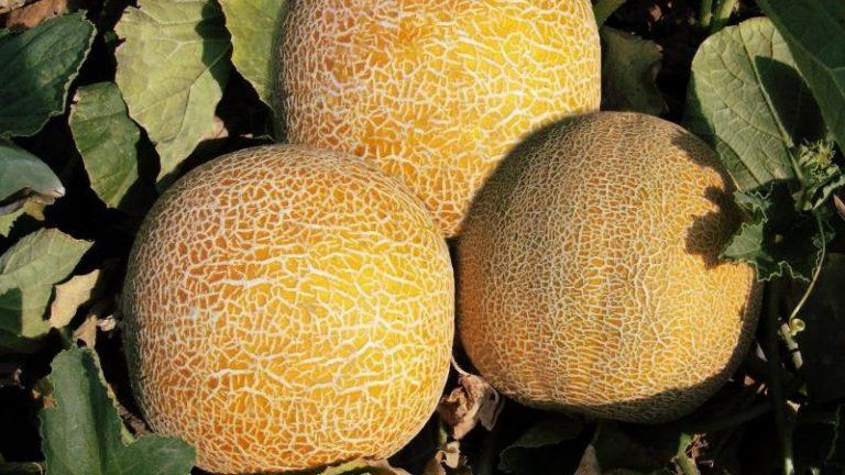 Выращивание дыни сорта Колхозница в открытом грунте, польза и как выбрать