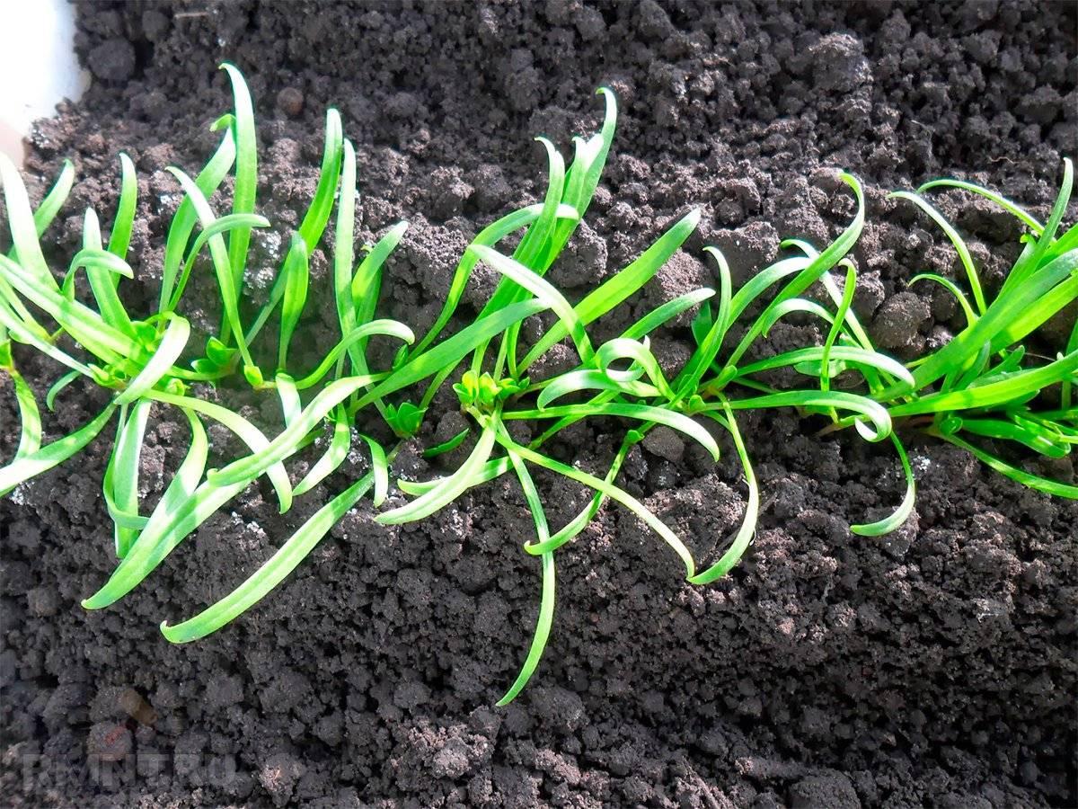 Тархун: выращивание и уход в открытом грунте
