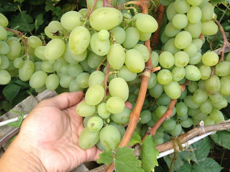 Галахад – современный устойчивый сорт винограда российской селекции