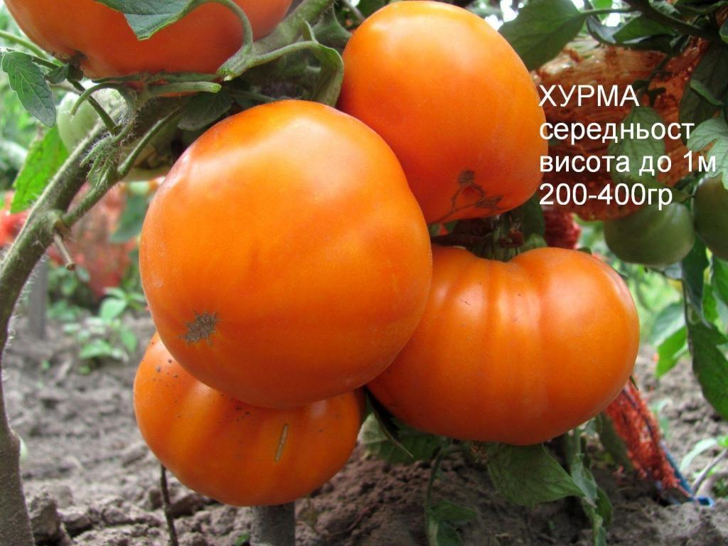 Томат хурма: описание сорта, отзывы тех кто выращивал его + фото куста