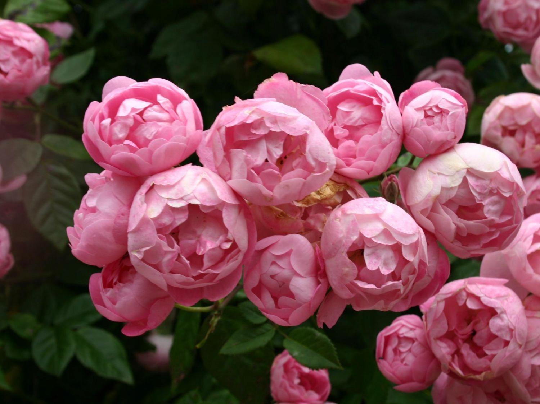 Пионовидные розы — что это за разновидность