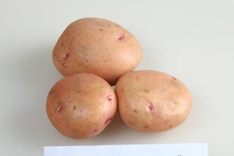 Картофель жуковский: описание сорта, отзывы и фото