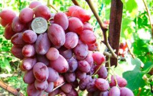 Виноград с давней историей тайфи. внешние признаки, свойства, выращивание