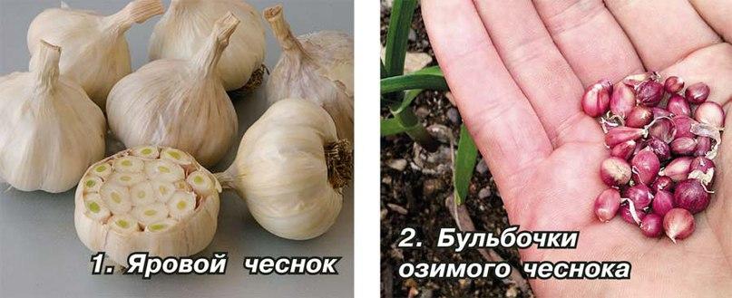 Чем отличается яровой чеснок от озимого: характерные особенности и разница двух видов русский фермер