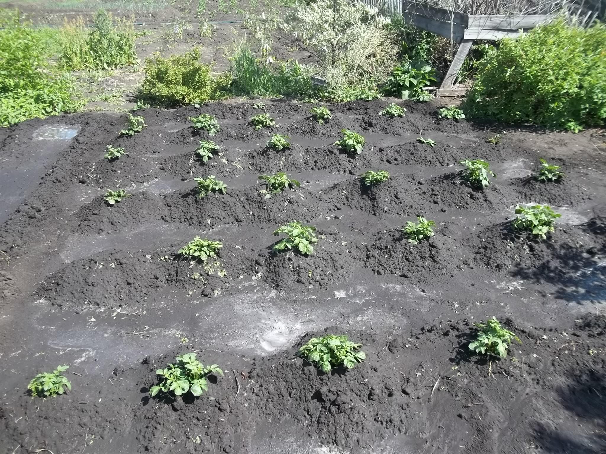 Окучивание картофеля: как и когда окучивать, сроки, правила, основные способы окучивания