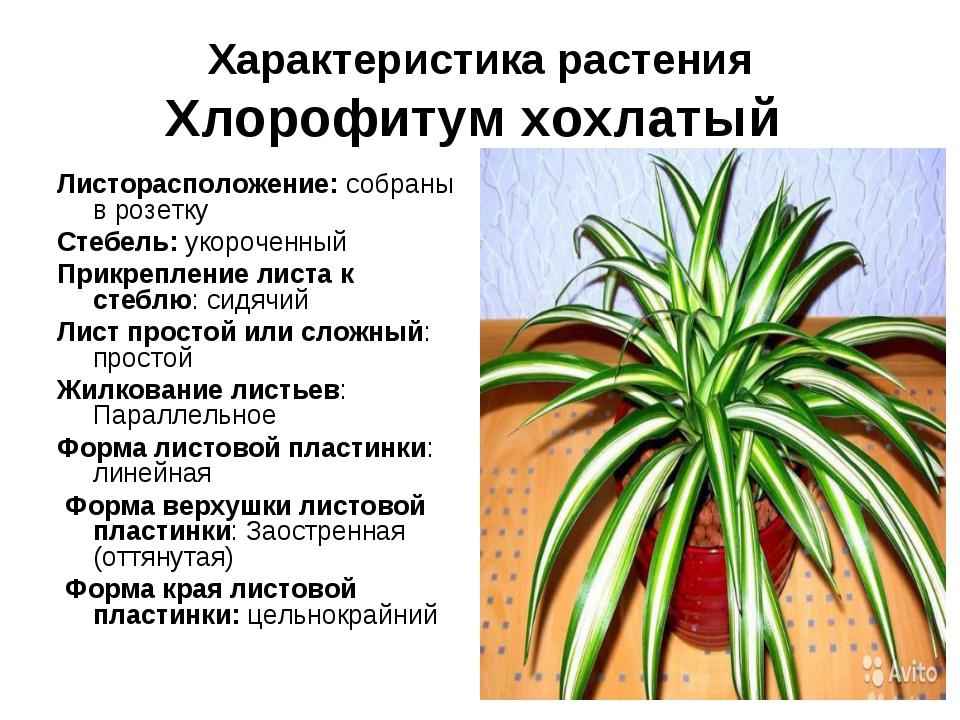 Виды и сорта хлорофитума (37 фото): описание хлорофитума капского, оранжевого и других разновидностей и их сортов