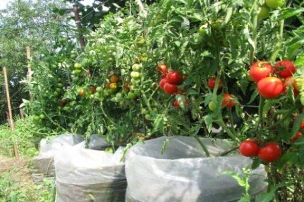 Выращивание помидоров в мешках в открытом грунте и теплице пошагово