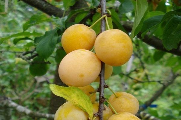 ✅ о алыче царская: описание и характеристика сорта, посадка и выращивание - tehnomir32.ru