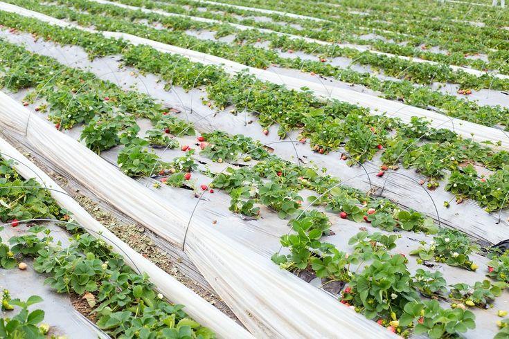Выращивание клубники в открытом грунте: схема посадки и уход, как правильно разводить