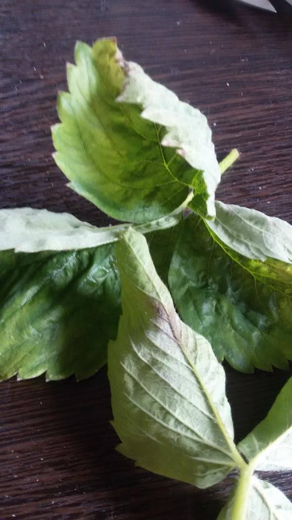 У клубники скручиваются листья, что делать