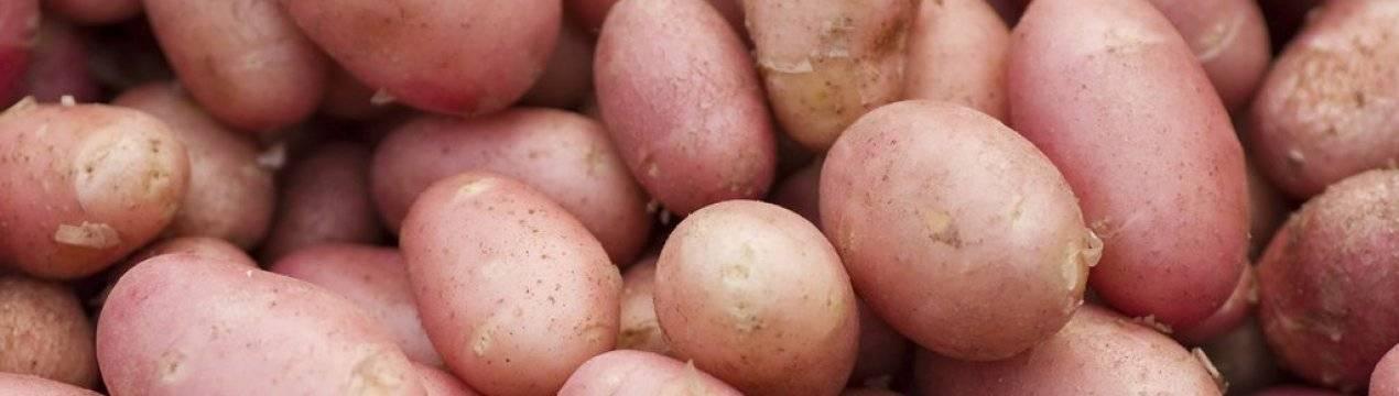 Сорт картофеля снегирь: описание, посадка и уход