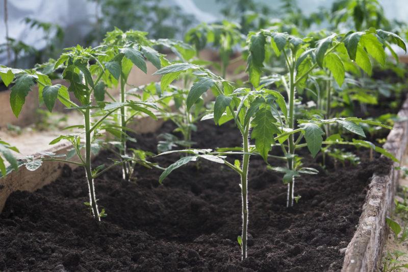 Выращивание помидоров в парнике: как правильно подготовить, когда осуществить посадку семян томатов, какие сорта выбрать и как грамотно ухаживать за сеянцами? русский фермер