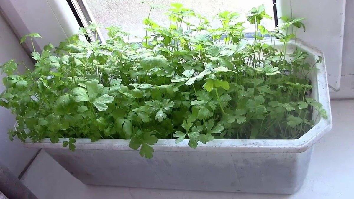 Как правильно выращивать кинзу в теплице зимой, лучшие советы