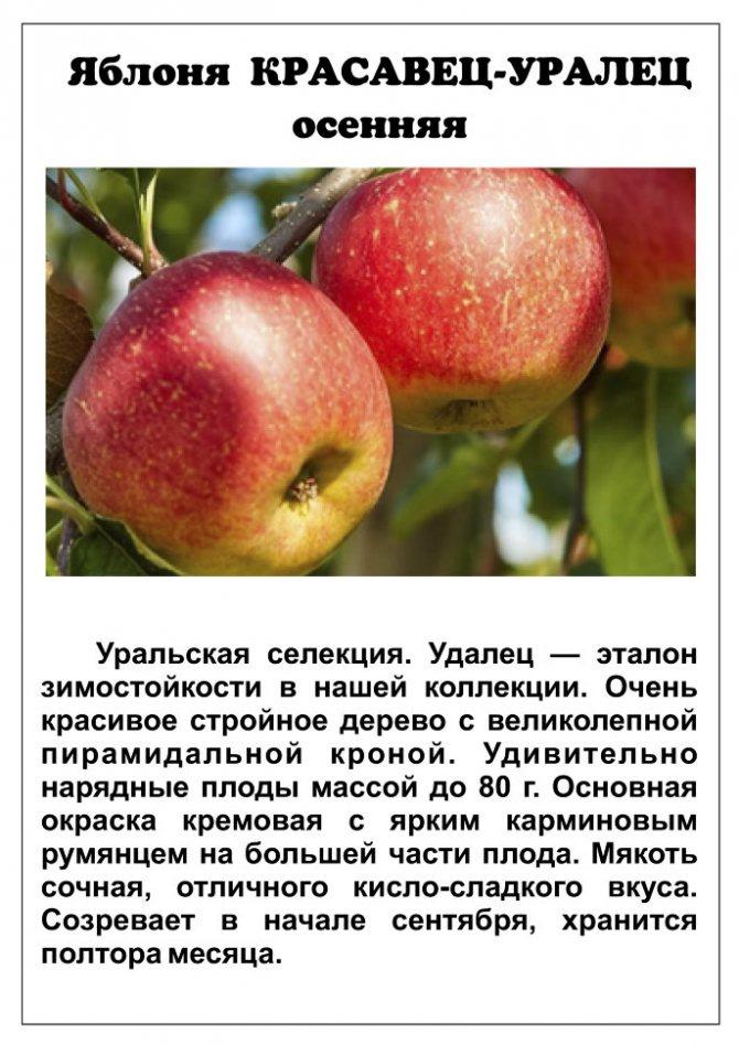 ✅ о яблоне уралец, описание, характеристики, агротехника выращивания - tehnomir32.ru