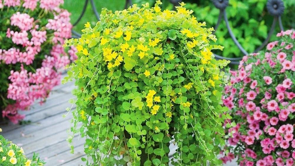 Обзор ампельных растений для сада: названия эффектных цветов для кашпо и их фото