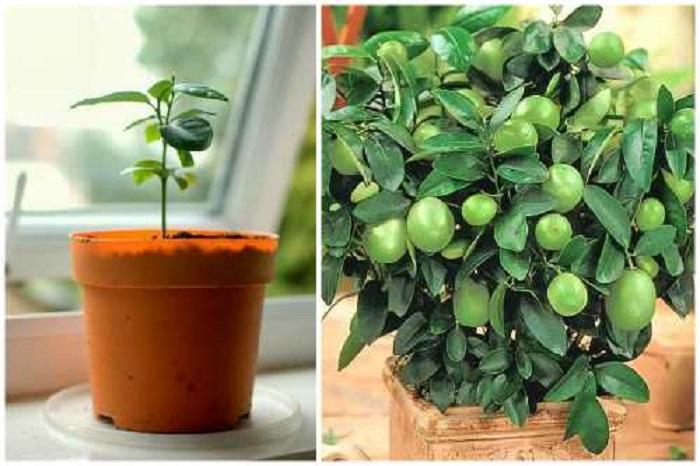 Самшит домашний: сорта, правила ухода, выращивание из семян