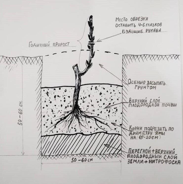 Как сажать виноград весной и осенью: пошаговое руководство и мастер-классы
