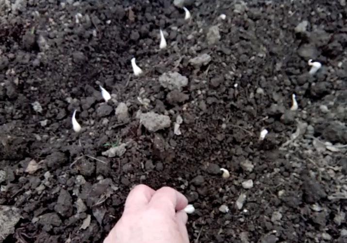 Посадка чеснока весной в открытый грунт
