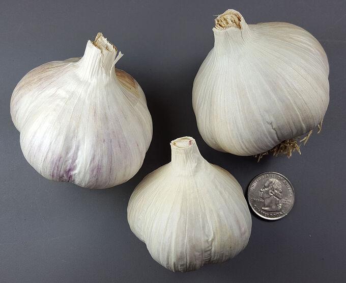 Крупноплодный чеснок кавалер: описание сорта и отзывы огородников