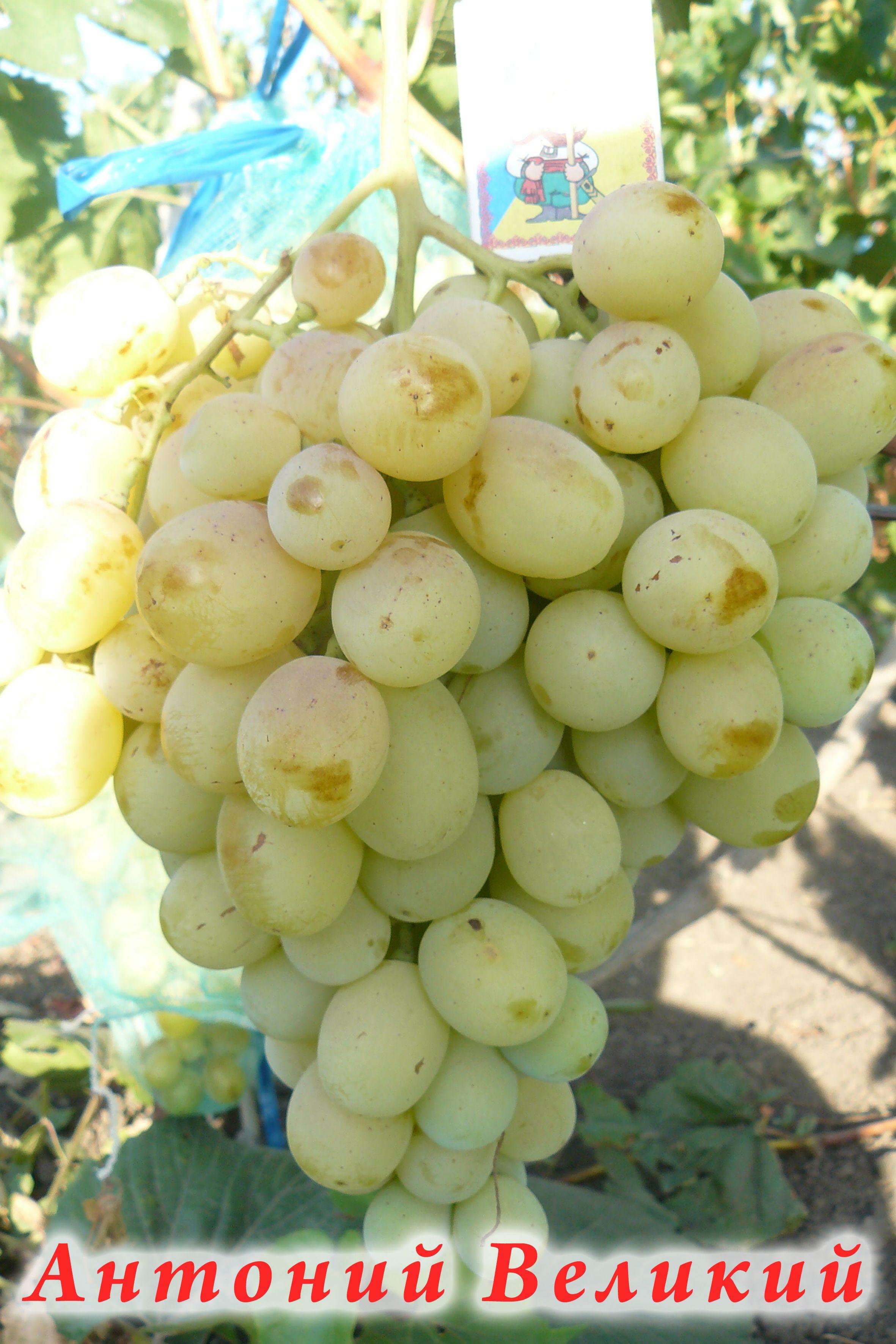 Виноград антоний великий- описание, советы по уходу, хранение