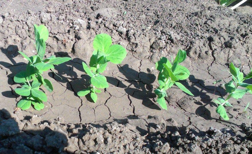 Выращивание гороха, популярные сорта, посадка, уход, размножение