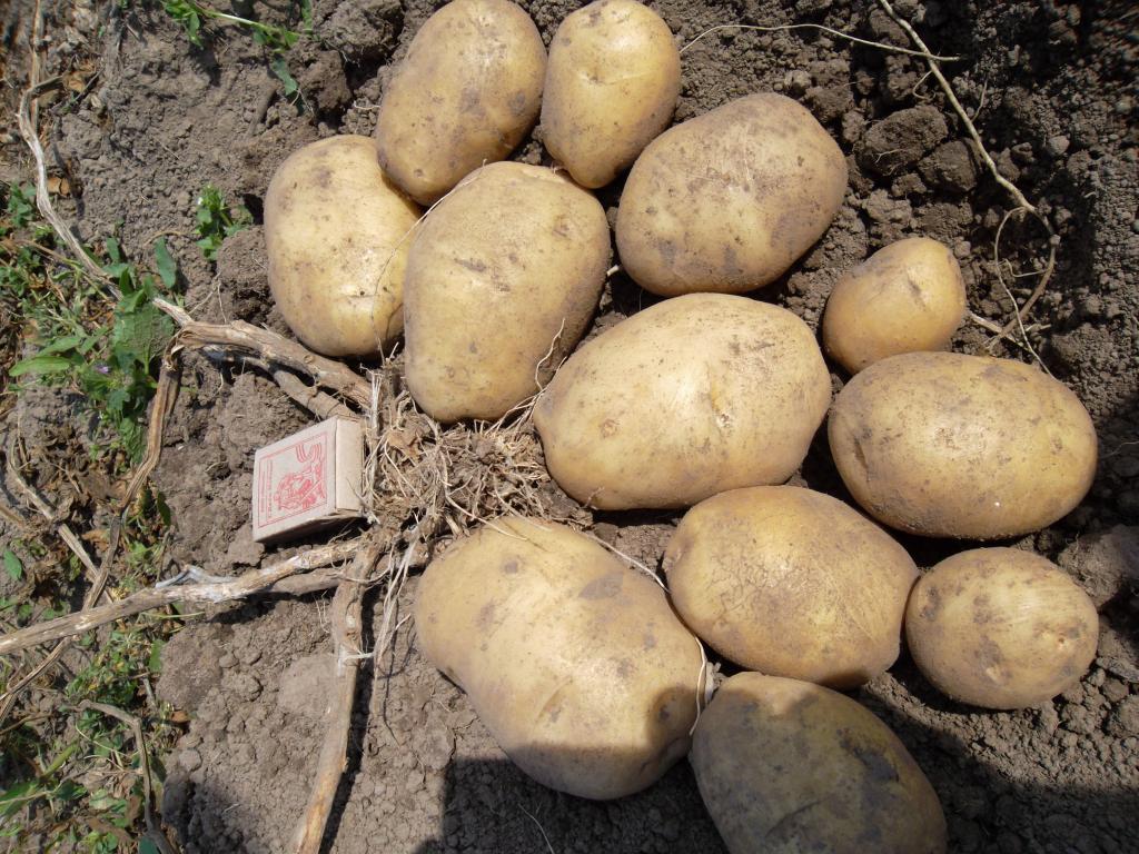 Сорт картофеля «вектор» – описание и фото