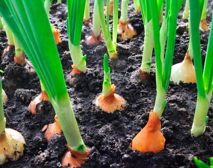 Декоративные луки - посадка и уход, размножение в открытом грунте, выращивание из семян
