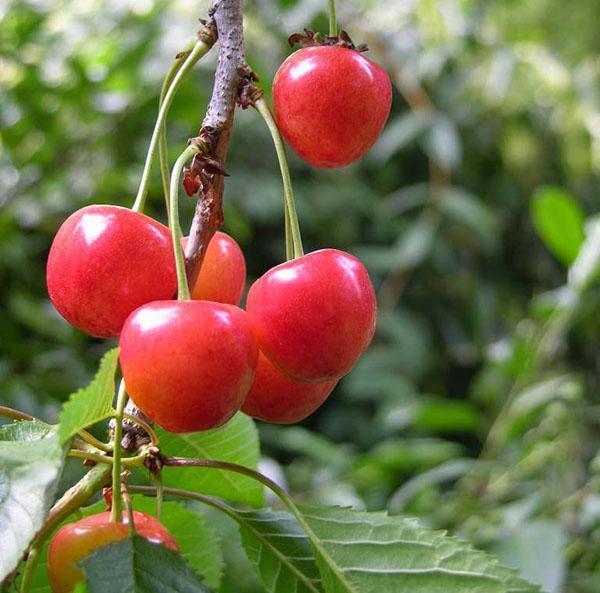 Черешня чермашная: описание и характеристики сорта, опылители и выращивание с фото