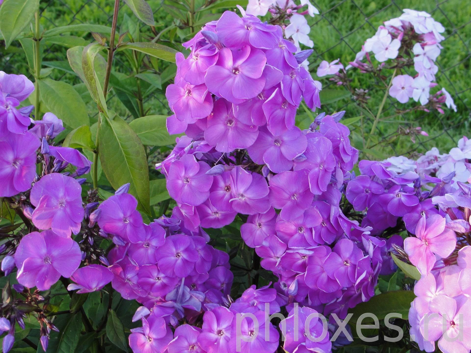 Многолетние флоксы: размножение черенками + семенами + делением куста & правильный уход > фото + видео цветов