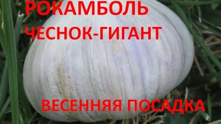 Описание сорта чеснока сибирский гигант, особенности выращивания и ухода - всё про сады