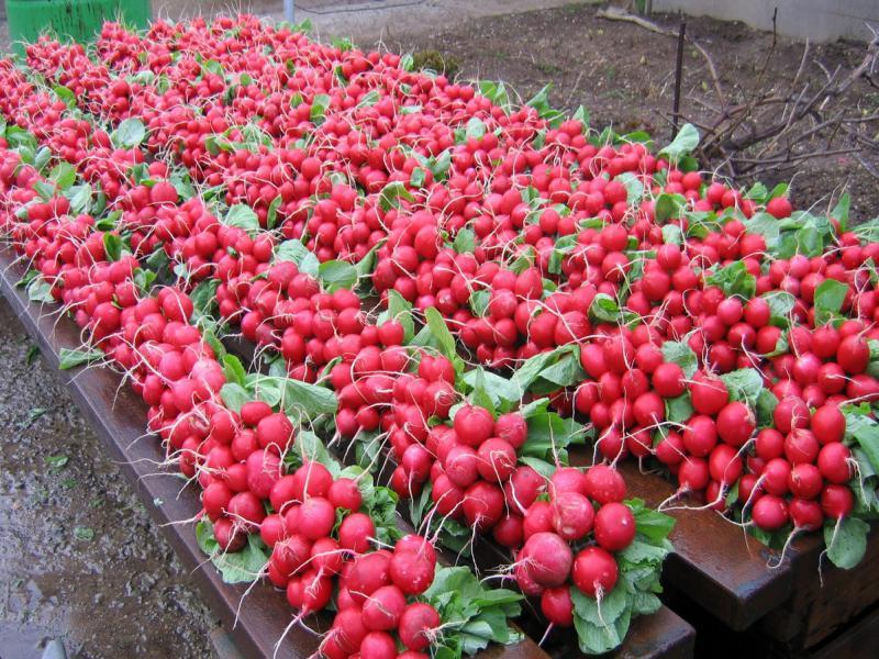 Как посадить редиску в теплицу: весенняя и осенняя посадка редиса