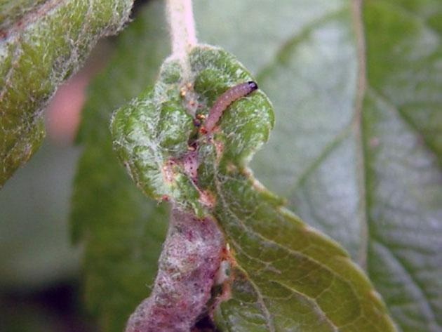 Как бороться с паутиной на яблоне и чем лучше ее обработать, препараты и народные средства