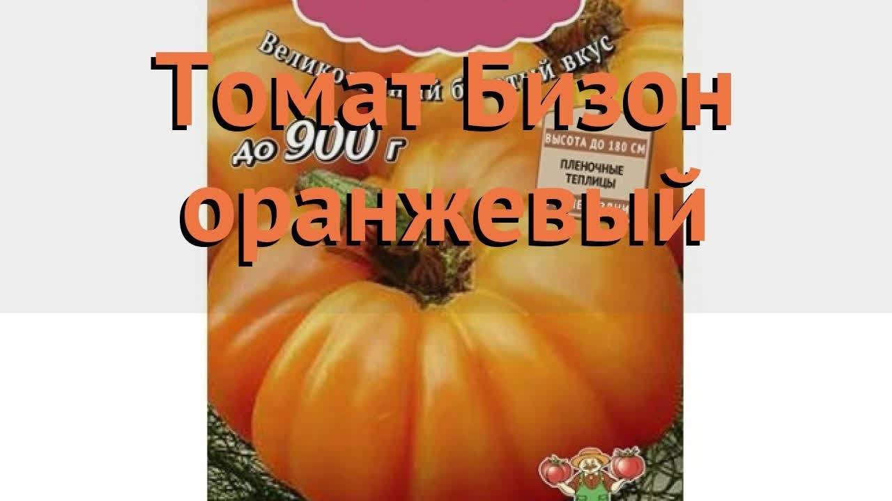 Томат сахарный бизон - описание сорта, характеристика, урожайность, отзывы, фото