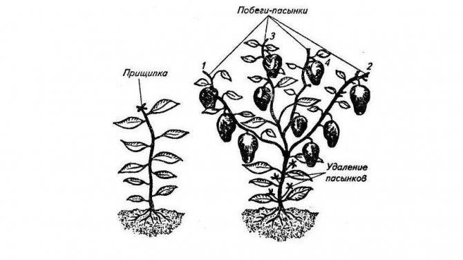 Формирование перцев в теплице: схема структуры и значение процедуры русский фермер