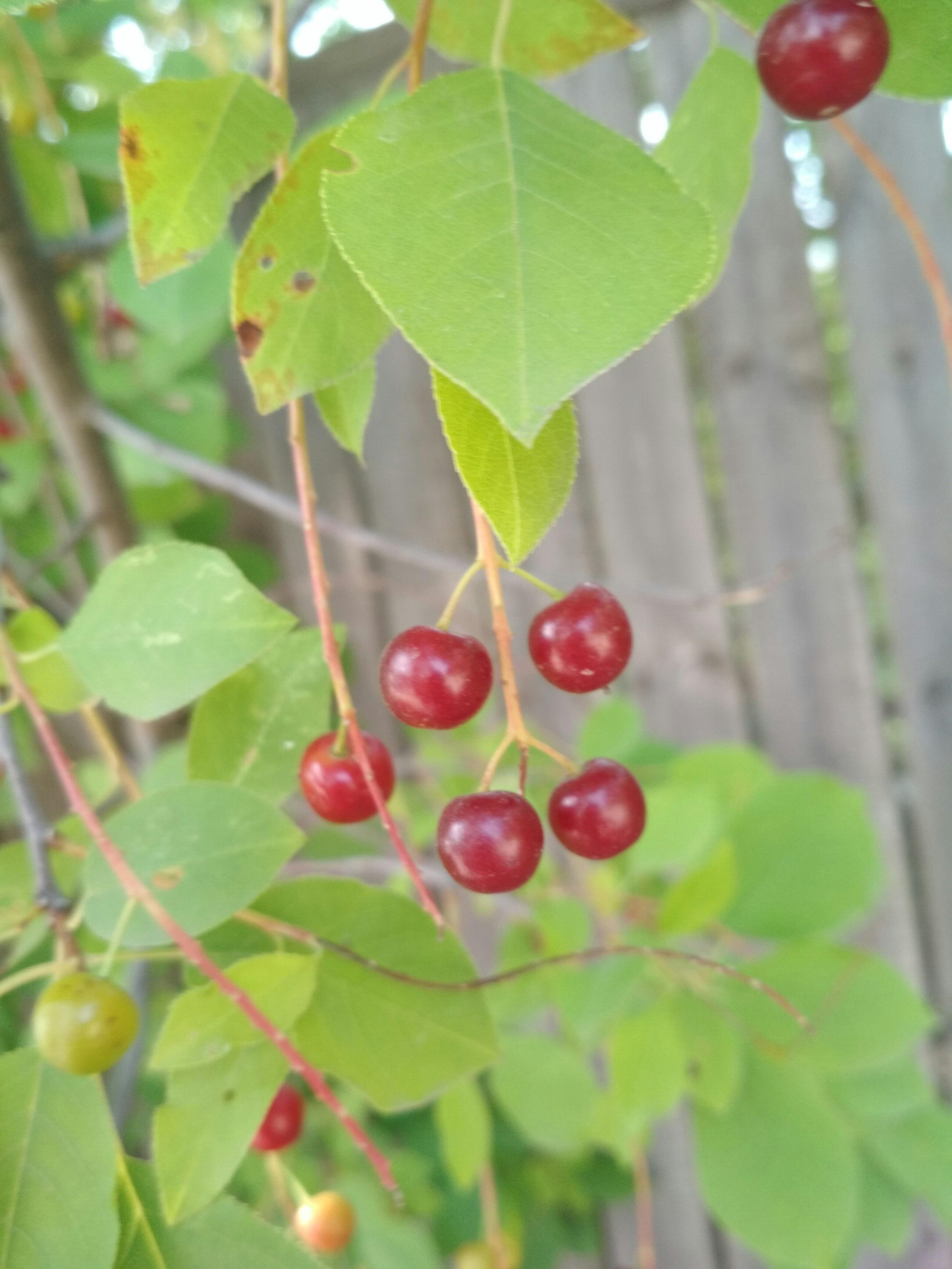 Гибрид черемухи и вишни полезные свойства