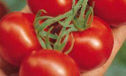 Стоит ли сажать томат авизо