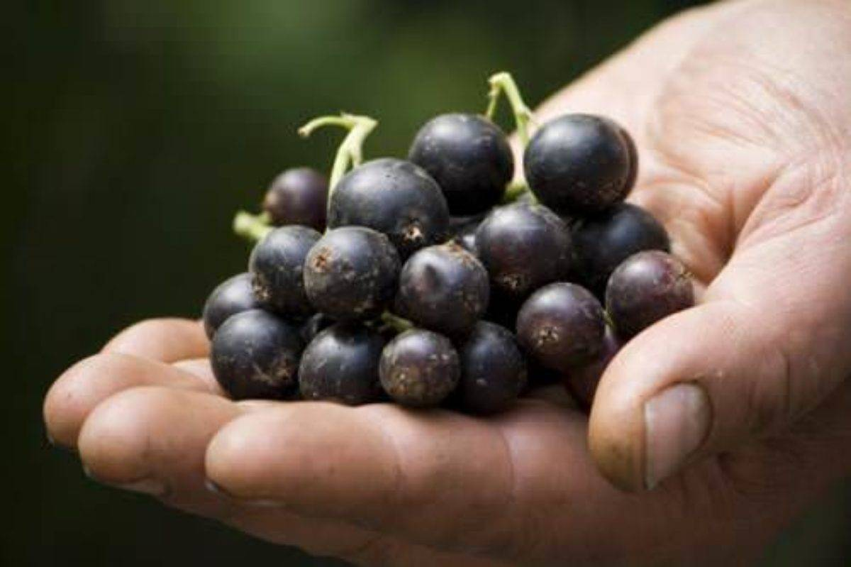 Смородина селеченская 2: описание улучшенного сорта, его достоинства и особенности выращивания