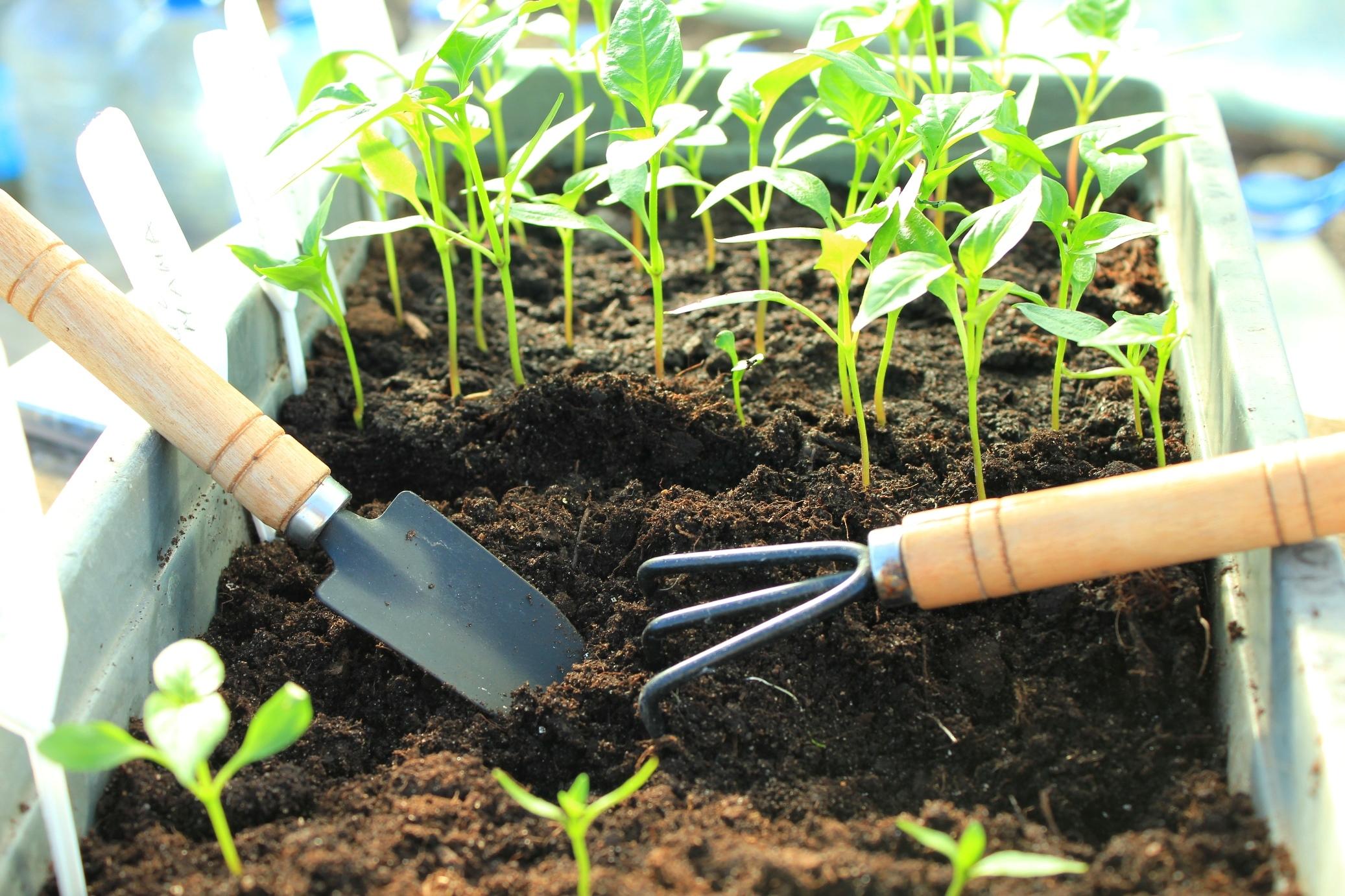 Капуста: выращивание и уход в открытом грунте, вредители и болезни