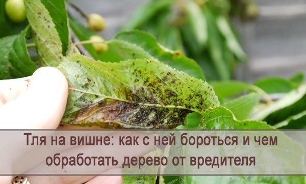 Как эффективно бороться с тлей на плодовых деревьях?