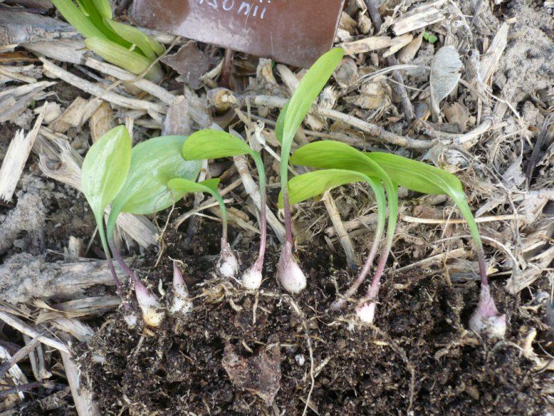 Садовые цветы  » черенкование лилий