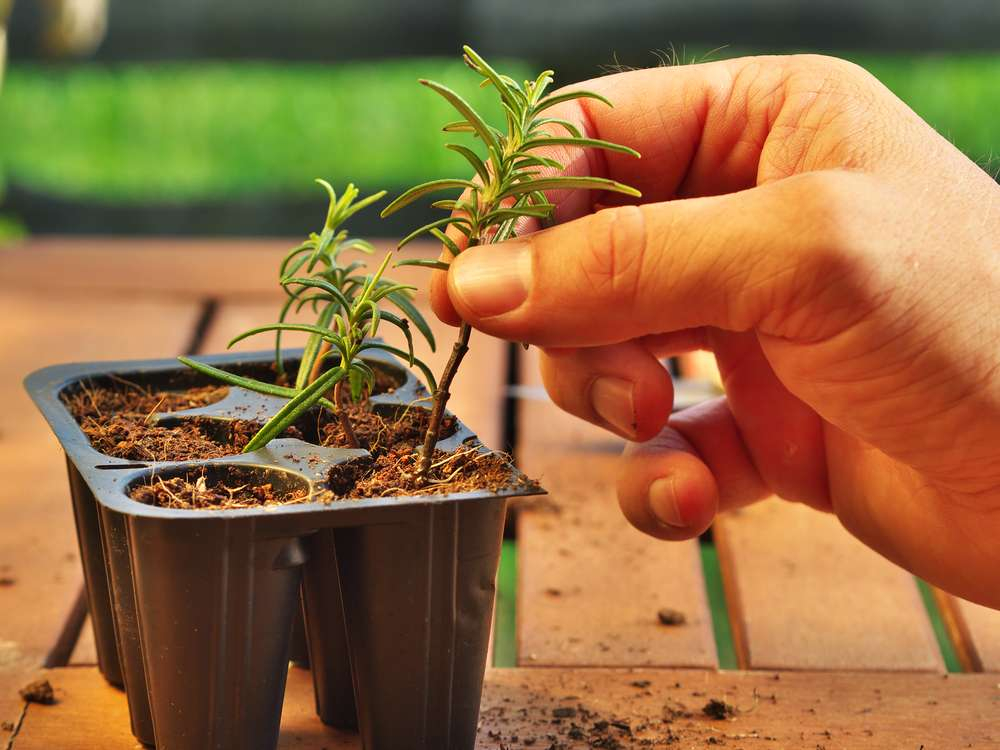Розмарин: выращивание в горшке дома, посадка и уход в домашних условиях