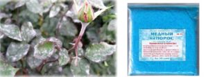 Мучнистая роса на розах | о розе
