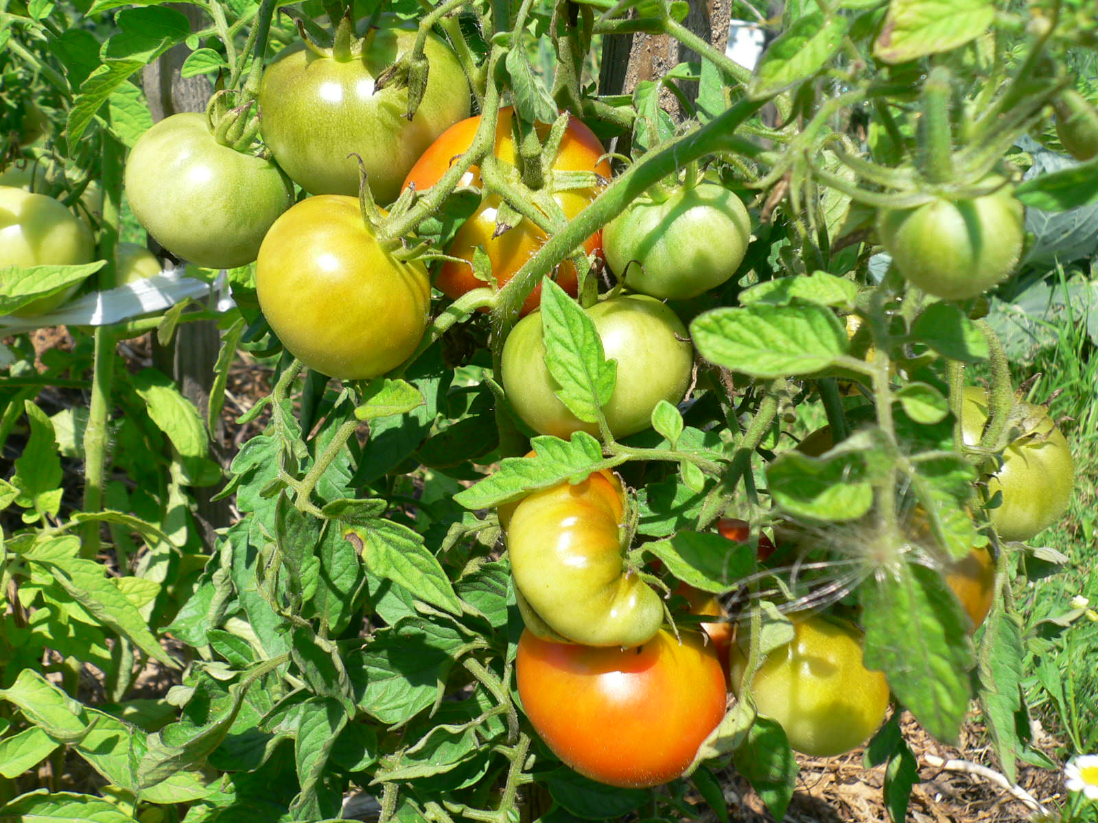 Помидоры каспар – отличный выбор для летних салатов и зимних запасов